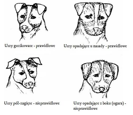 Uszy Jack Russell terriera