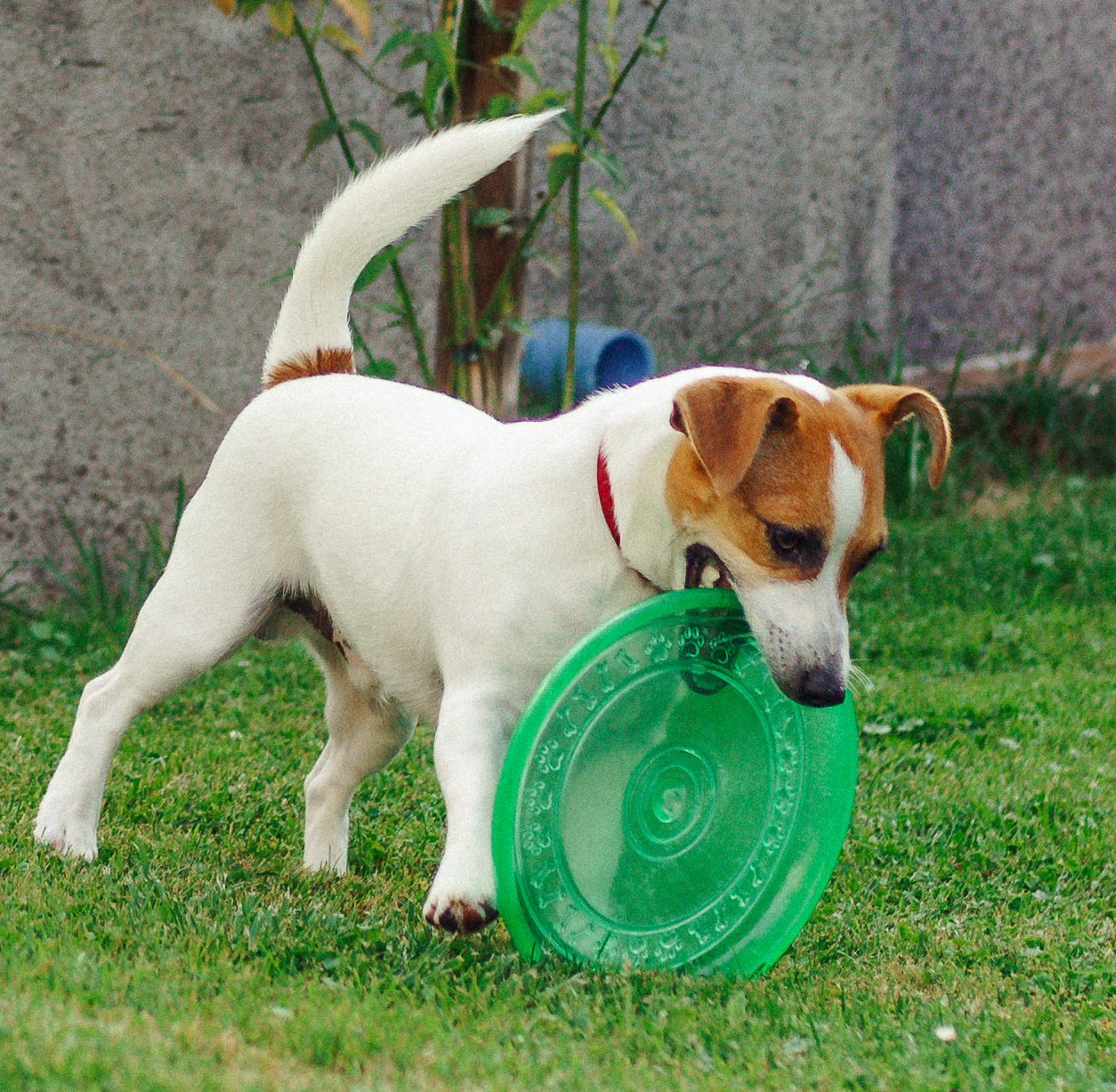 Kostniakomięsaki u Jack Russell Terriera
