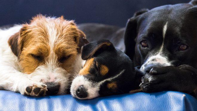 układ kostny psa
